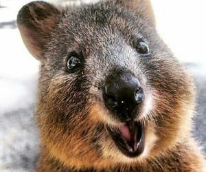 australia, cute, and quokka image