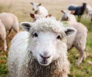 animal, sheep, and farm image