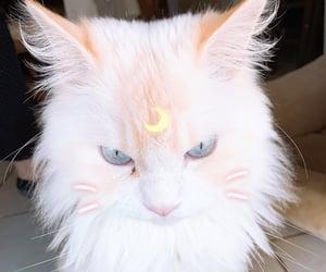 blue eyes, grumpy, and cat image