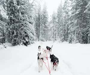 finland, dog sledding, and lapland image