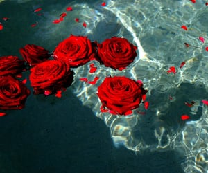 rose, red, and water image