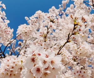 cherry blossoms, korea, and iphoneography image