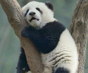 animal, panda, and bear image