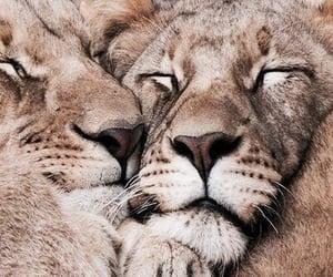 lion, animal, and theme image
