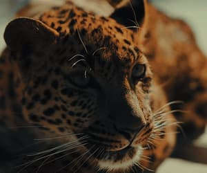 gif and leopard image