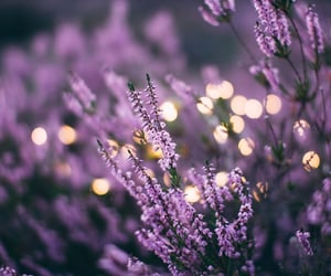 lavender, flowers, and nature image