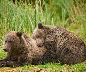 animals, bears, and wildlife image