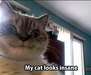 cat, funny, and insane image