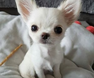 Image result for cute chihuahuas