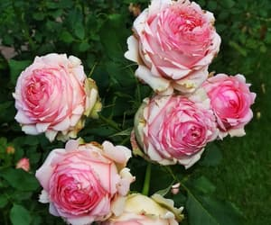 beauty, pink, and flowers image