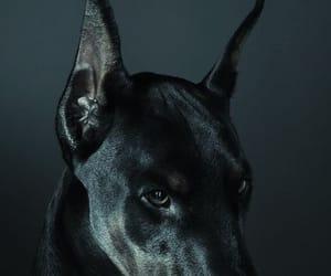 dog, black, and doberman image