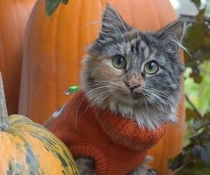 cat, kitty, and pumpkin image