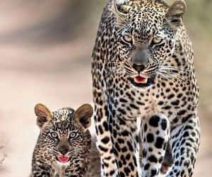 animals and leopardo image