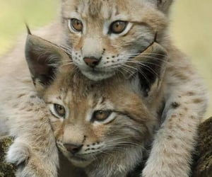 animal, lynx, and cat image