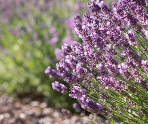 flowers and lavendel image