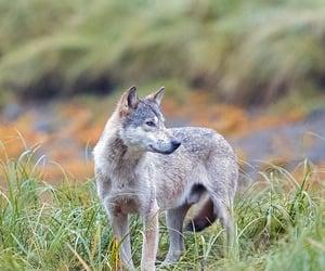A little Great Bear Rainforest wolf by John E. Marriott