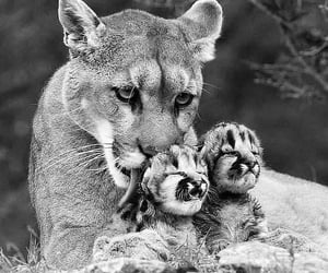 animals, nature, and lions image