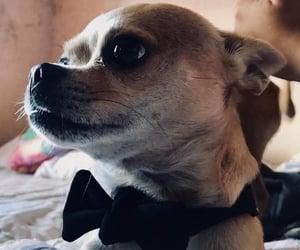 chihuahua, dog, and elegante image