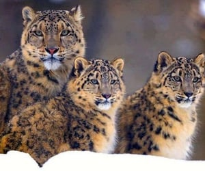 snow leopard, animal, and baby image