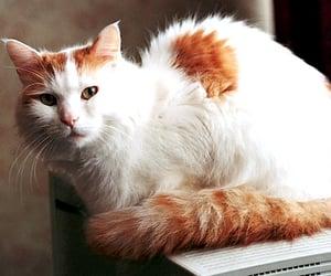 cat, cute cat, and turkish van image