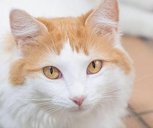 turkish van, cat, and cute cat image