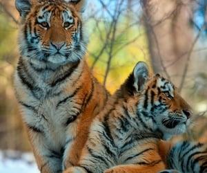 animal and tiger cub image