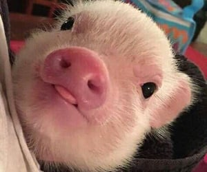 animals, adorable, and pig image