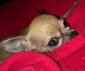 chihuahua, cute dog, and dog image