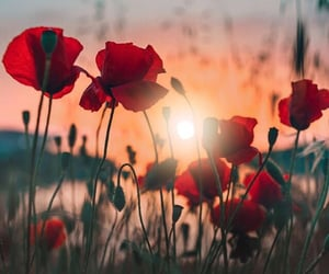 beautiful, poppies, and sunset image