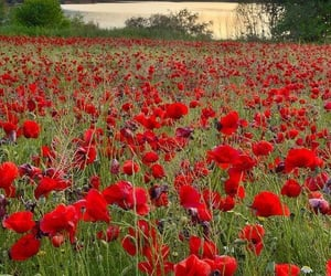 flowers, poppy, and beautiful image