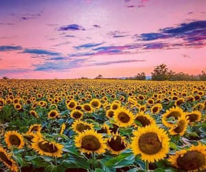 beautiful, field, and sunflowers image