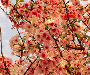 cherry tree and flowers image
