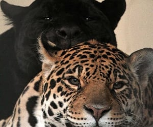 animals and panther image