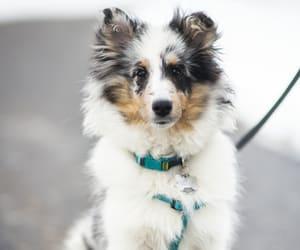 nova, puppy, and shetland sheepdog image