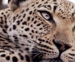 animal, animals, and leopards image