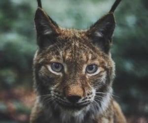 big cat, wild, and eyes image