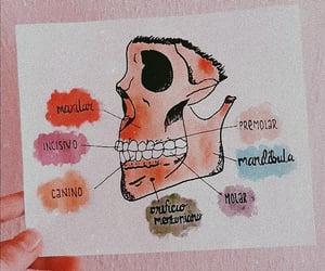 anatomia, craneo, and odontología image