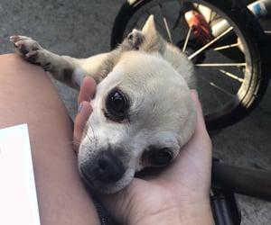 chihuahua, mix, and dog image