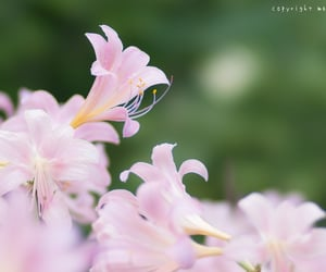 bokehlicious, pink lily, and summer flowers image