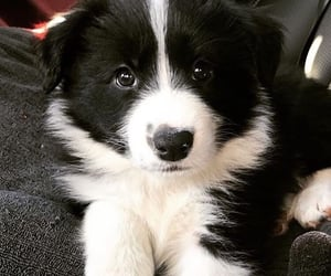 border collie, dogs, and inspiration image