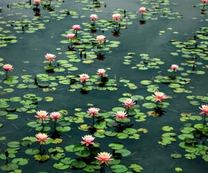 flowers, water lily, and water image