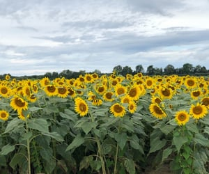 natural, sunflower, and yellow image