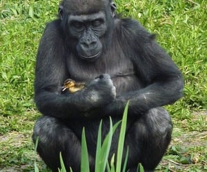 duck and gorilla image