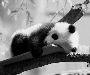 panda, black and white, and animal image