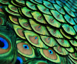 peacock, green, and feather image