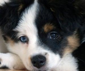 aussie, australian shepherd, and puppies image