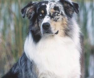 aussie, australian shepherd, and cute image