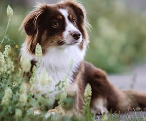 aussie, australian shepherd, and dog image