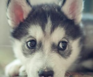 animals, siberian husky, and dogs image