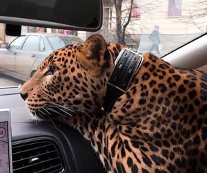 animal, car, and leopard image